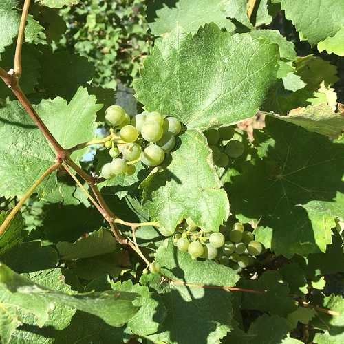 Le vignoble du Jurançon. img3005