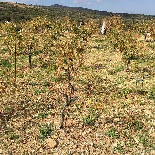 Le vignoble Crétois img3319