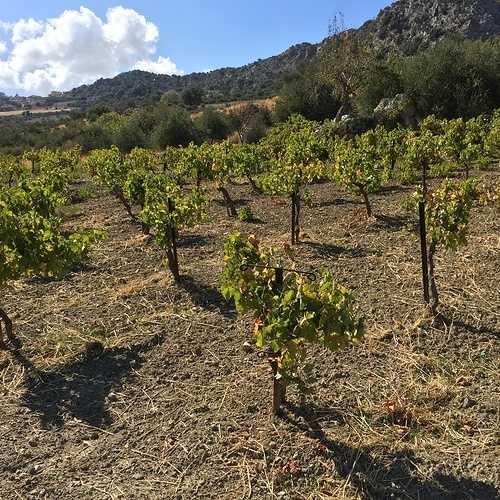 Le vignoble Crétois img3339