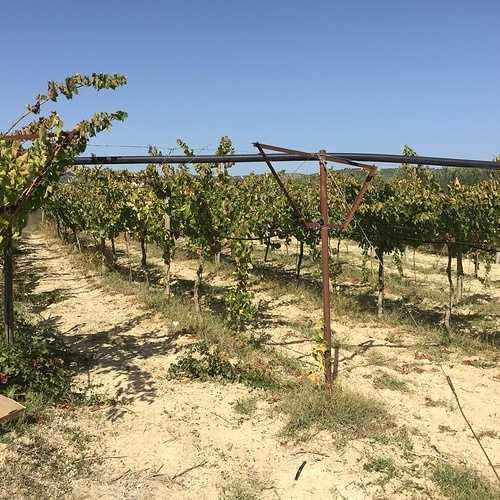 Le vignoble Crétois img3433