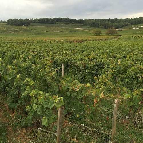 Les vendanges en Bourgogne 2016 img3272
