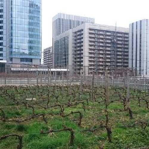 Un nouveau vignoble à Paris ! 0