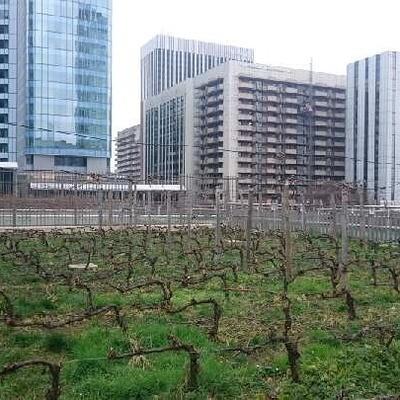 Un nouveau vignoble à Paris !